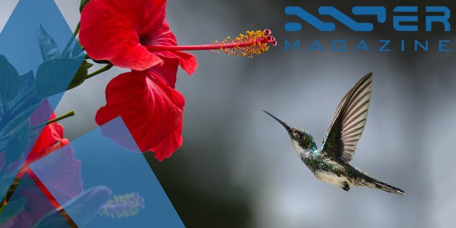 hummingbird-featured